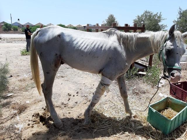 סוס פצוע ניצל ברגע האחרון